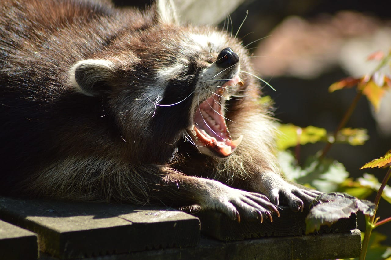 Can Raccoon Urine Make you Sick