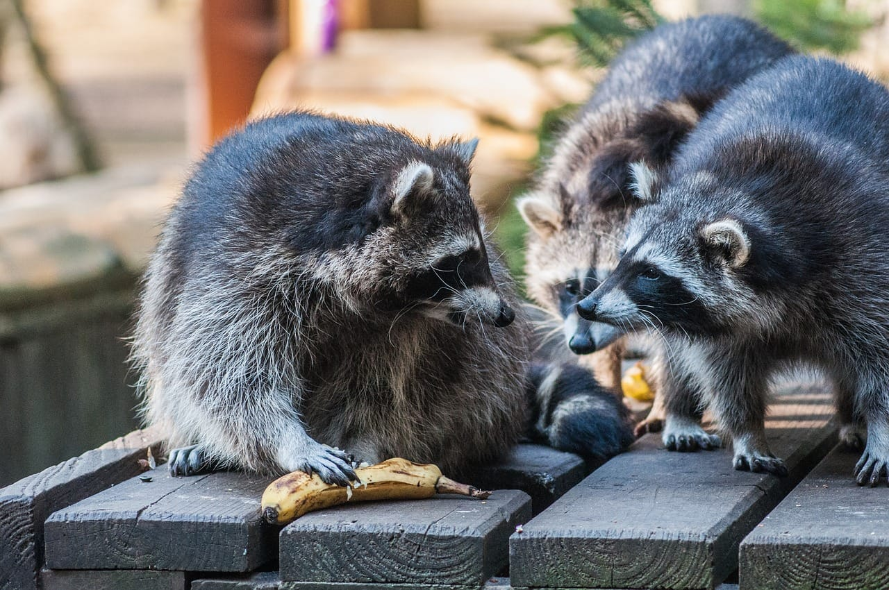 Which Animal is More Dangerous, Possums or Raccoons?