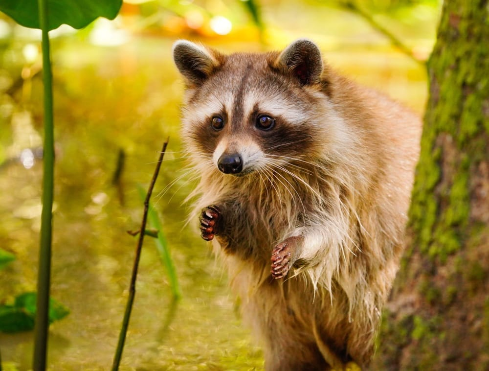 Are Raccoons dangerous to your pets?
